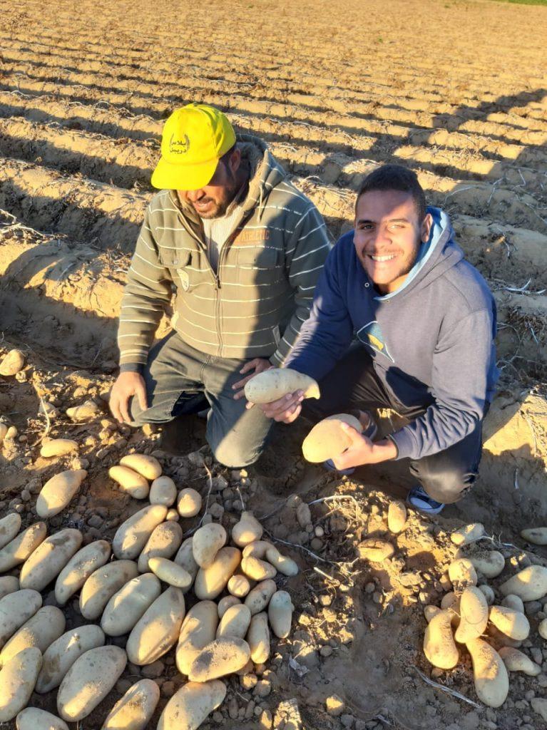 الزراعة: 573 ألف فدان خالية من العفن البني في البطاطس... وعينات دورية للإطمئنان علي مناطق زراعة بطاطس التصدير