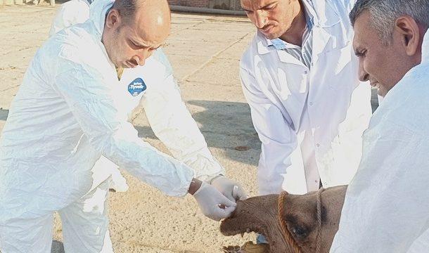 الفاو تعزز قدرات مصر البيطرية لجمع عينات الإبل للكشف عن مرض