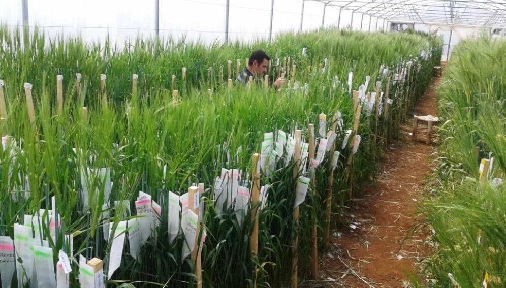 تفاصيل أخطر عملية لنقل الأصول الوراثية من بنك جينات «إيكاردا» من سوريا إلي مناطق آمنة
