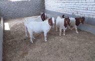 عاجل بالصور... وصول الدفعة الاولي من الماعز البور الأوروبي لتطوير الإنتاج المصري من الماعز