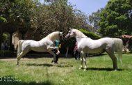 محطة الزهراء...30 طالوقة ذكر لإنتاج خيول عربية أصيلة متميزة