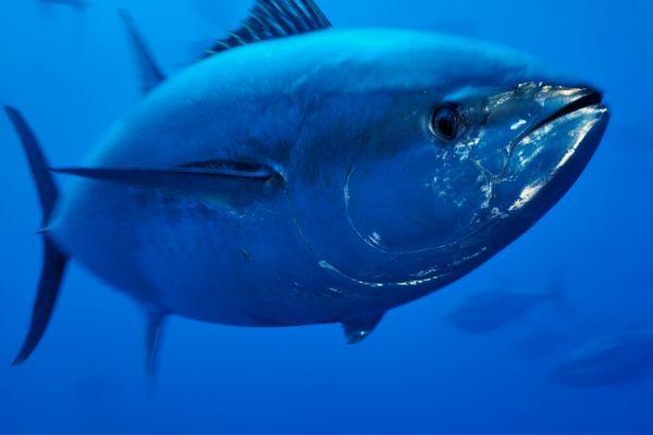غرائب العالم...يصطاد سمكة تونة بقيمة 3 ملايين دولار ويعيدها لمياه المحيط
