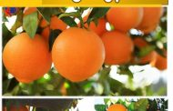 خبير زراعي يكتب عن التحجيم والتلوين الآمن في البرتقال والصادرات الزراعية