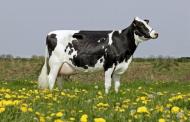 د هاني حسن يكتب: سلالات الابقار وانتاج اللحم واللبن (صور)