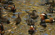 أغرب القضايا... محكمة فرنسية: براءة البط من إثارة الضوضاء