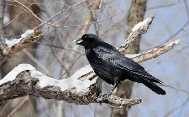 أحدث دراسة أمريكية عن الغراب ...أكثر الطيور ذكاء ووفاء لزوجته و ينطق 100 كلمة مختلفة (تفاصيل)