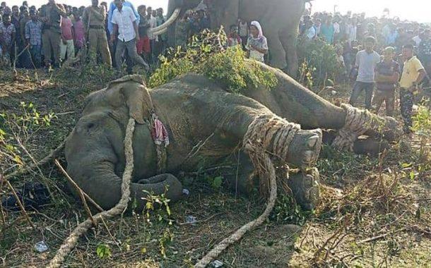 الأفيال الهندية تقتل 2300 شخص...ومطاردة مثيرة لـ