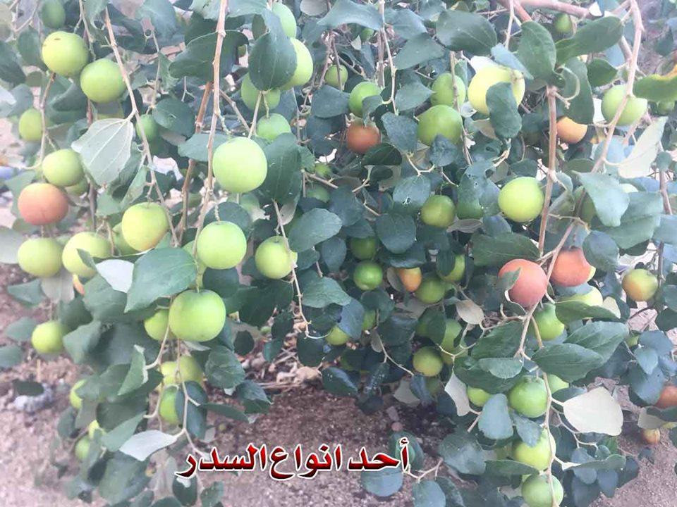 د نصر بسيوني يكتب: حكايتي مع النحل وشجرة السدر المباركة