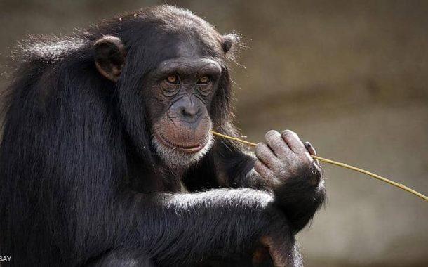 دراسة يابانية تكشف قدرة القرود علي الرقص والإحساس بالموسيقي
