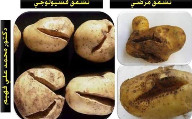 د محمد فهيم يكشف أسباب تشقق درنات البطاطس وخطة الحل
