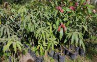 مصر توافق علي تصدير 10 الآف شتلة مانجو وبرتقال وجوافة وعنب وليمون لـلصومال