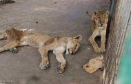 الجوع يهدد أسود حديقة الحيوان بالخرطوم