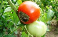 خبير زراعي يكشف: كيفية التعرف علي نقص الكالسيوم في النباتات