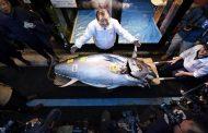 بيع  أغلي سمكة تونة زرقاء بقيمة 1.8 مليون دولار (تفاصيل)