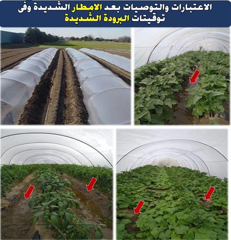 د محمد فهيم: كيف تنقذ هذه المحاصيل من مخاطر الأمطار والبرد ؟ (تحت الأنفاق البلاستيكية)