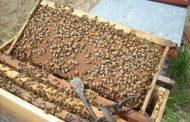 تعرف علي أخطر أمراض النحل تهدد التربية وإنتاج العسل