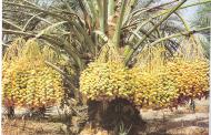 الزراعة:  15 إجراء لحماية نخيل البلح من آفات ثمار النخيل