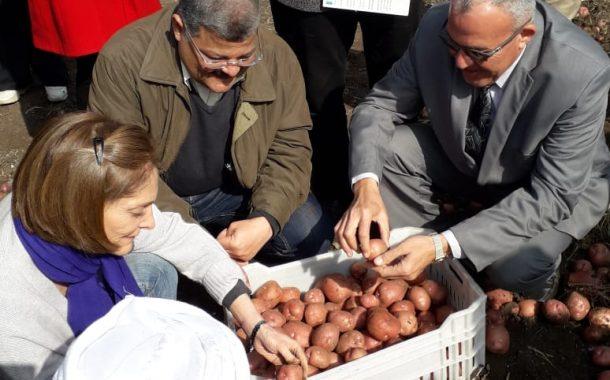 نجاح تجربه جديدة لزراعه البطاطس في بني سويف تضاعف انتاجية المحصول