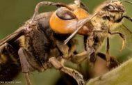 دبابير عملاقة تغزو أمريكا وتهاجم النحل (تفاصيل)