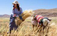 المغرب : إنخفاض إنتاجية القمح بنسبة 42% عن العام الماضي
