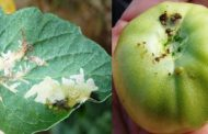 د وائل غيث يكتب: ماذا تعرف علي سوسة الطماطم التي تهدد الإنتاج ؟