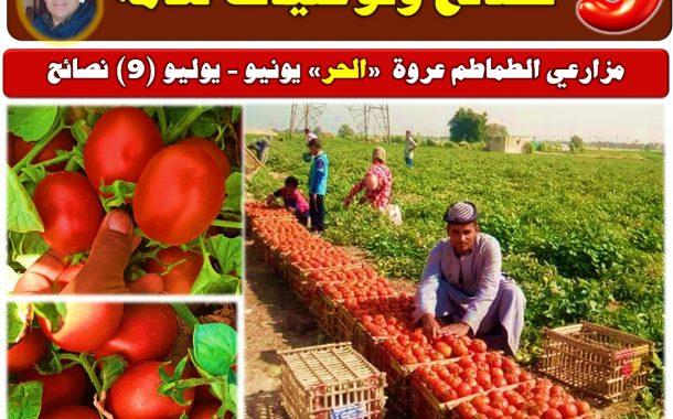 د محمد فهيم: 9 نصائح لمزارعي الطماطم (عروة الحر)