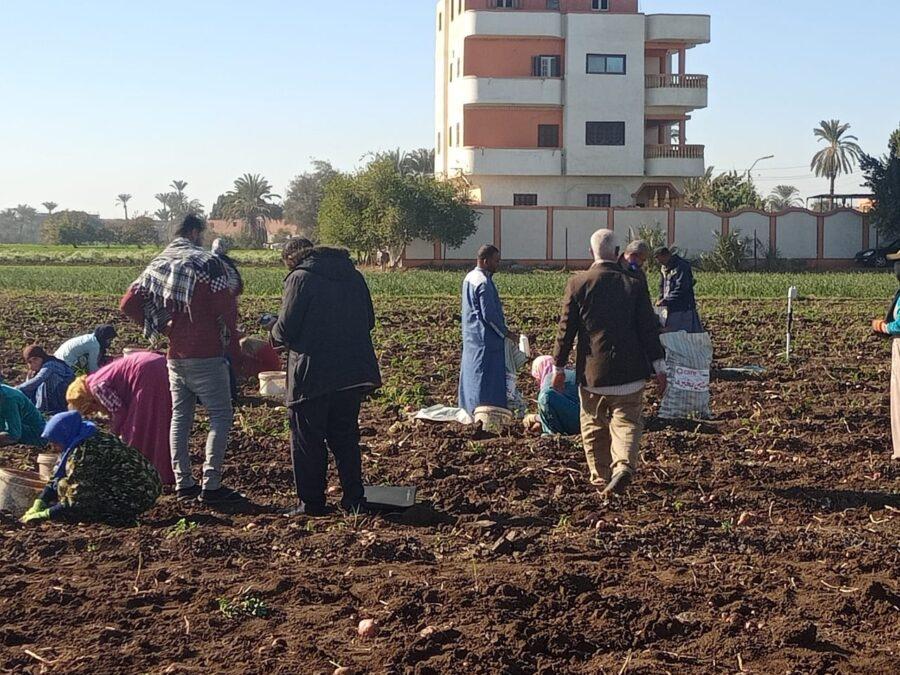 افتتاح موسم حصاد البطاطس بحضور هيئة «كير الدولية» لتمكين المرأة الريفية